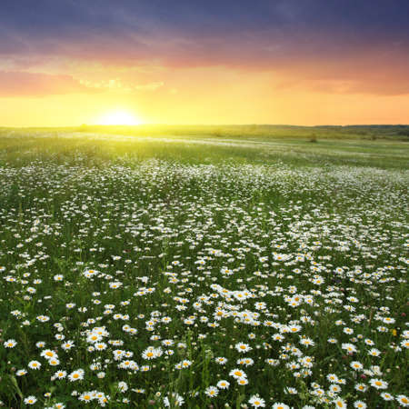 Colorful sunset over daisy field  photo