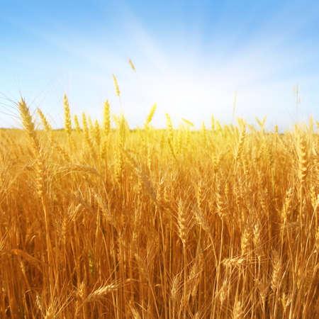 wheat crop: Campo de trigo en el d�a soleado