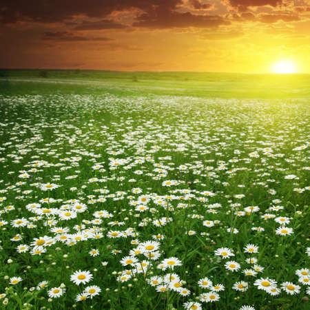 dark skies: Beautiful sunset over daisy field  Stock Photo