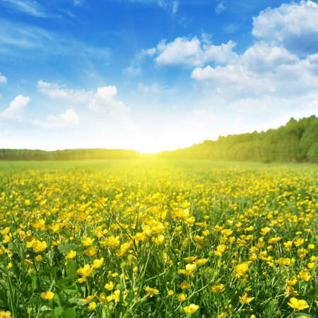 buttercup flower: Field of spring flowers,blue sky and sun  Stock Photo