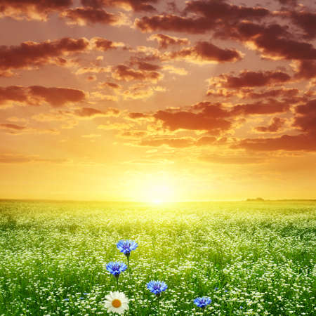 Bright sunset over summer flower field  photo