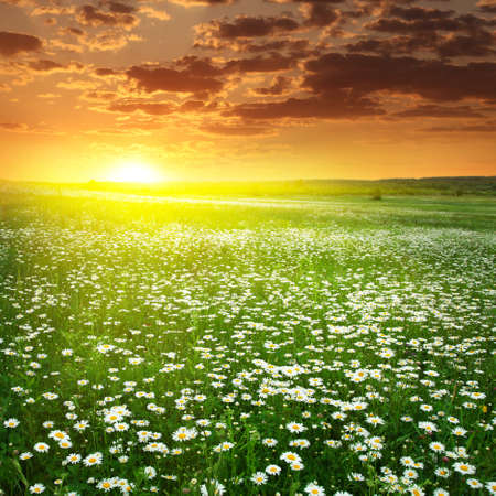 Field of white daisies and dramatic sunset  photo
