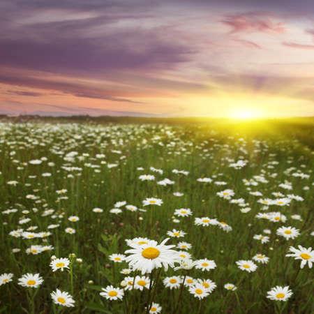 Daisy field and beautiful sunset  photo