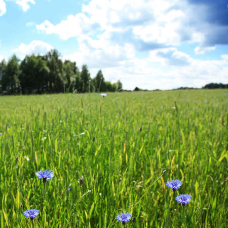Wheat field with blue cornflowers and blue sky  photo