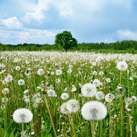 Field of dandelions,single tree and stormy sky
