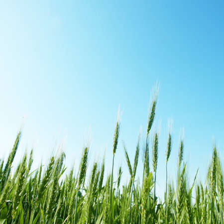 Wheat field,blue sky and sun   photo