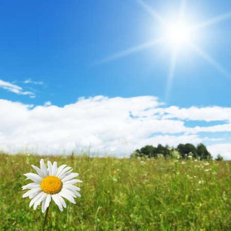 daisy stem: White daisy and sun   Stock Photo
