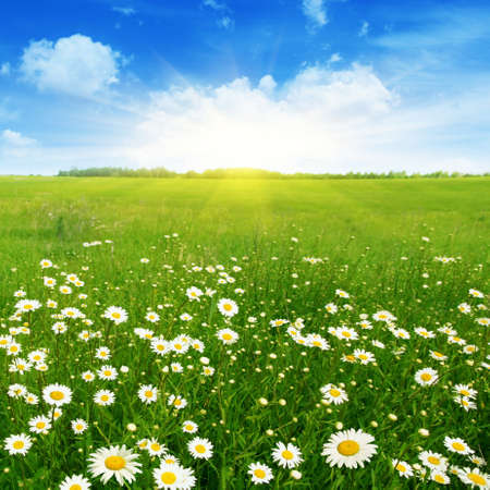 Field of daisies and blue sky  Stock Photo - 13411663