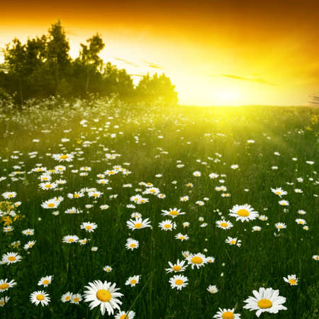 Daisy field and trees at sunset Stock Photo - 13411660