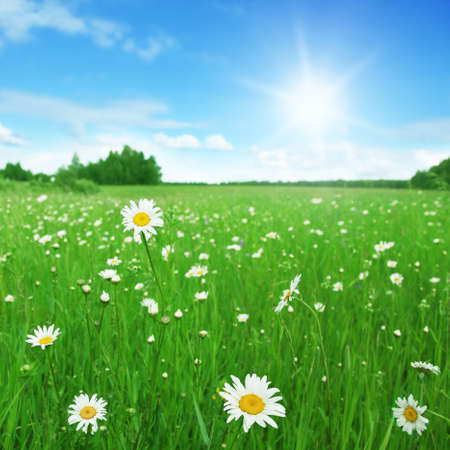 Field of daisies,blue sky and sun   Stock Photo - 13411661