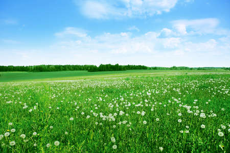 green field: Field of white dandelions under blue sky