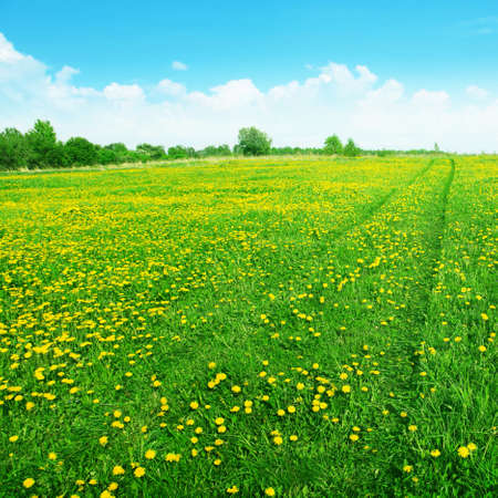 Dandelion field with road and blue sky