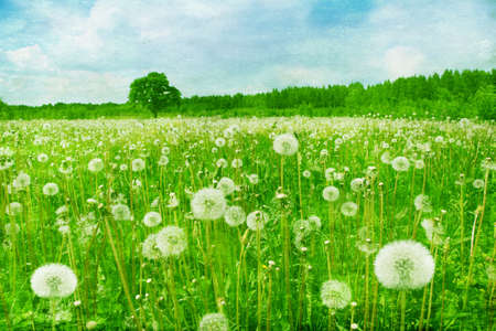 Dandelion field in grunge style  photo