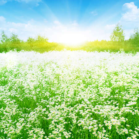 Summer meadow full of daisies in sunlight   Stock Photo - 13411719