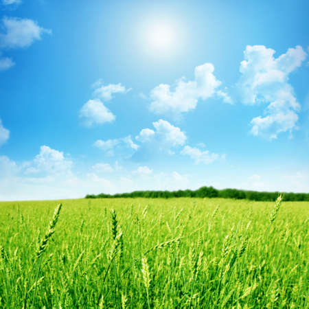 non cultivated: Green wheat field with blue sky and sun  Stock Photo