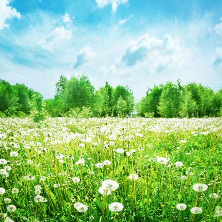 campo de margaritas: Paisaje de verano con el campo de diente de le�n y cielo azul Foto de archivo