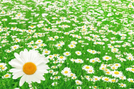 Field of white daisies on summer day  Stock Photo - 13411731