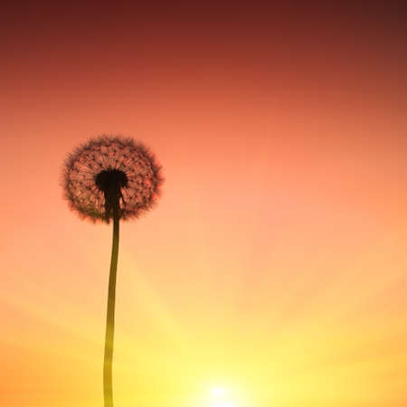 Dandelion and sunset  Stock Photo - 13599767