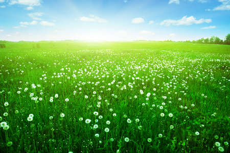 Sunlight in blue sky over dandelion field  photo