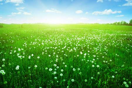 Sunlight in blue sky over dandelion field  Stock Photo