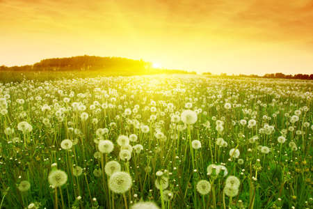 Dandelions in meadow during sunset