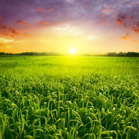 green field: Field of green wet grass and colorful sunset  Stock Photo