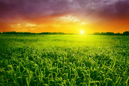 non urban: Green grass with dew and beautiful sunset