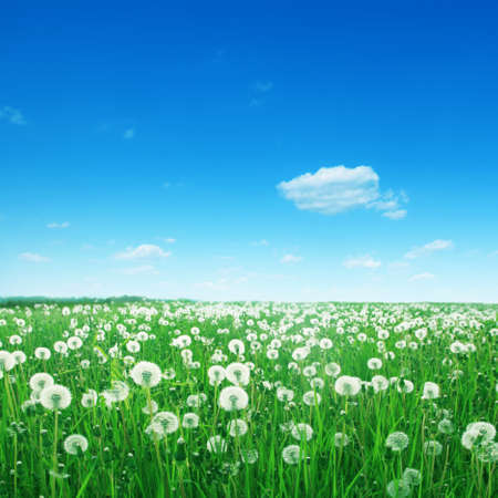 White cloud in blue ky and dandelion field  photo