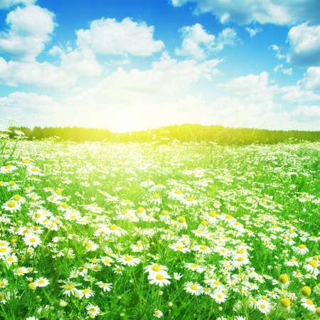 margriet: Zomer landschap met madeliefjes op zonnige dag Stockfoto