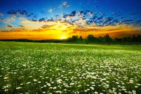 White daisies on the meadow at sunset  photo