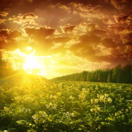 non cultivated: Potato field at sunset