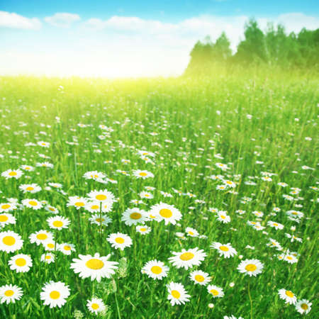 Field of flowering chamomiles under bright blue sky. Stock Photo - 17583850