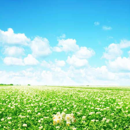 flowering field: Green field of flowering potato under bright blue sky