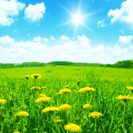 day flowering: Green meadow with yellow dandelions,blue sky and sun  Stock Photo