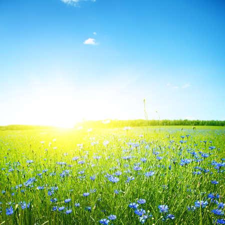 Aciano campo, cielo azul y sol brillante