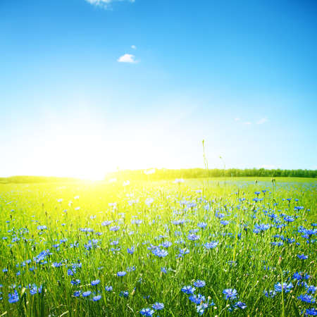 Campo di fiordaliso, cielo blu chiaro e luce solare luminosa
