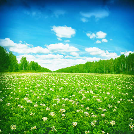 potato leaves: Blooming potato field,trees and blue sky with clouds.