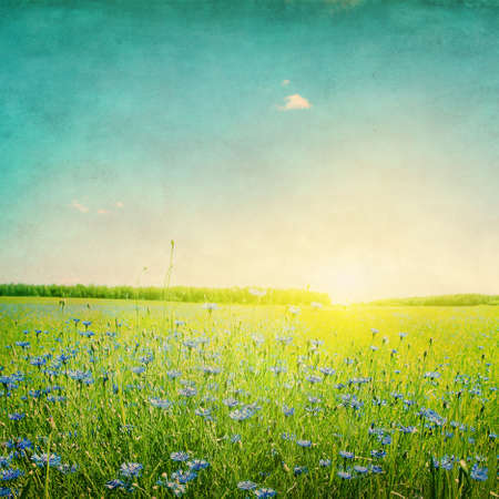 Grunge image of sunset over agricultural field with blue cornflowers
