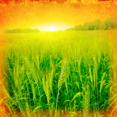 Grunge image of green wheat field at sunset  photo