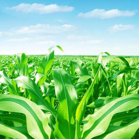 corn fields: Green corn field at morning time