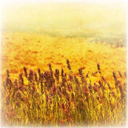 Lavender in the field in grunge and retro style. photo