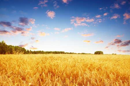 熟した小麦畑とカラフルな夕日。