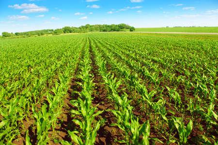 corn rows: Green corn field over blue sky.