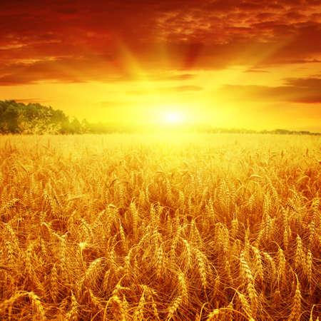 wheat field: Beautiful sunset over wheat field.