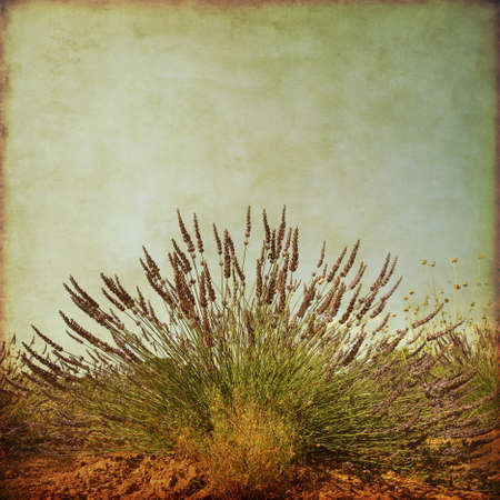lavender bushes: Lavender in the field in grunge and retro style.