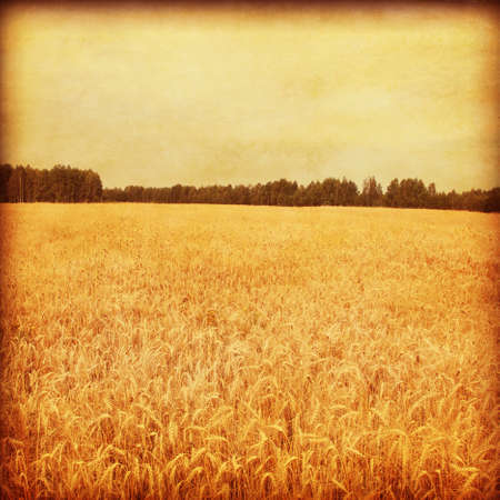 non cultivated: Wheat field and at sunset in grunge and retro style  Stock Photo