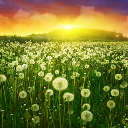 blue toned: Dandelion field and bright colorful sunset.  Stock Photo