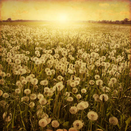 blue dandelion: Dandelion field at sunset in grunge and retro style.