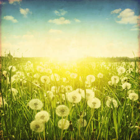 Dandelion field at sunset in grunge style. photo