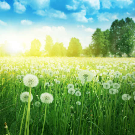 dandelion field: Dandelion field,blue sky and sunlight.
